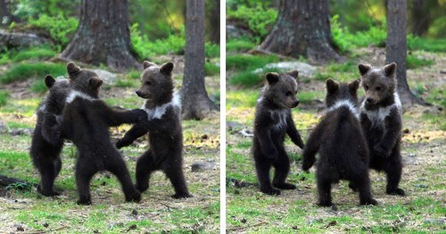 """Photographer Discovers Three """"Dancing"""" Bear Cubs Having Fun in Finnish Forest"""