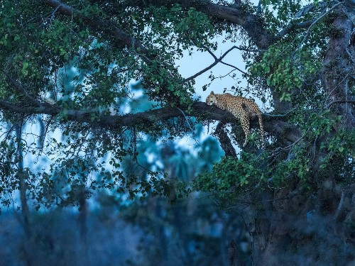 Photographer Captures Softer Side of Elusive and Feared Leopard Sleeping Peacefully