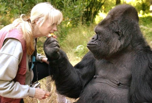 Koko the Kitten-Loving Gorilla Who Learned Sign Language Dies at 46