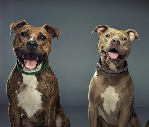 Beautiful Portraits Hope to Change the Perception of Bully Breed Rescue Dogs