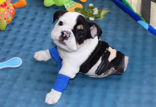 Adorable Bulldog Puppy Born with Only Two Healthy Legs Receives the Help He Needs