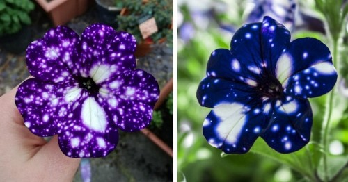 """Spectacular """"Galaxy"""" Flowers Look Like They Hold the Universe in Their Petals"""