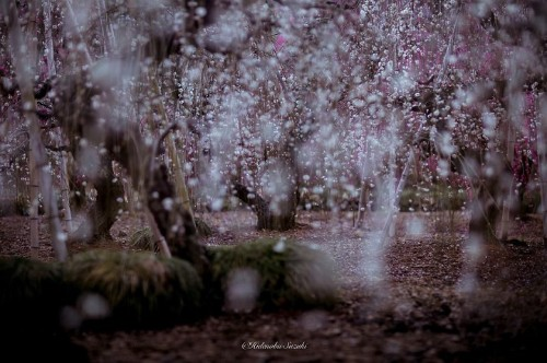 Magical Photos of Blossoming Plum Trees Signal the Arrival of Spring in Japan