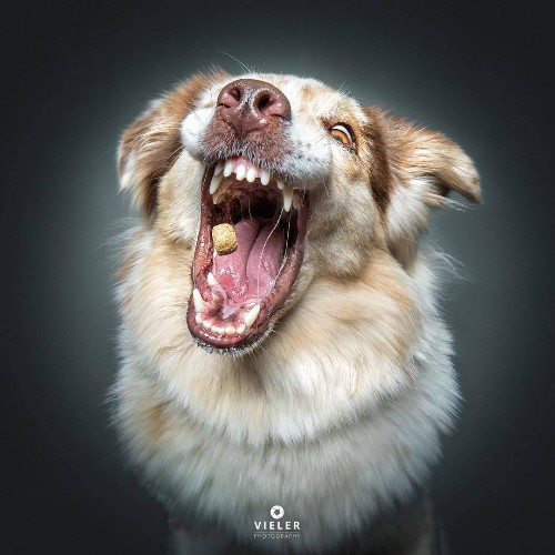 Funny Photos of Dogs Concentrating on Catching Treats in Mid-Air