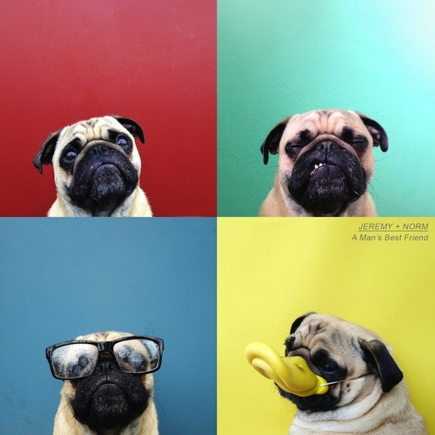 Meet Norm, the Personality-Filled Pug