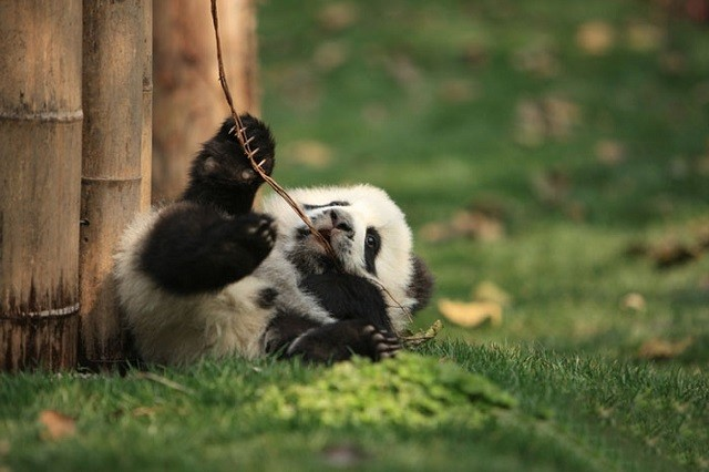 "Adorable Panda ""Daycare"" Committed to Saving the Endangered Species"