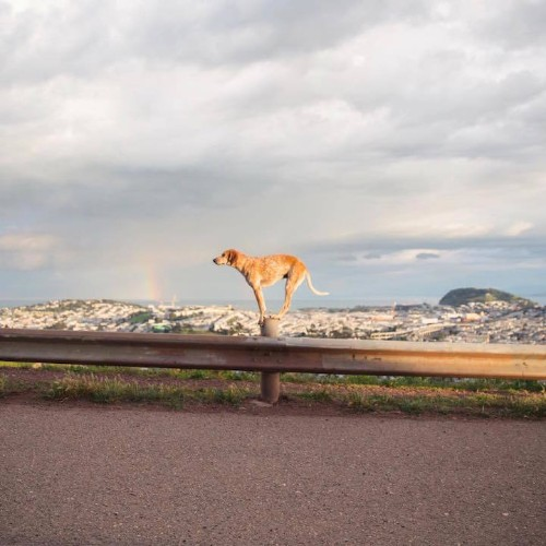 Maddie the Coonhound Balances on Things While Traveling Across the US