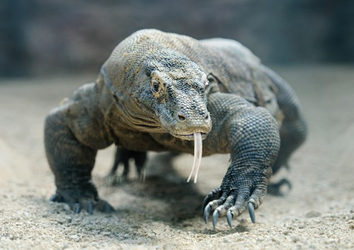 Komodo Dragons Are Covered in a Suit of Armor Buried Within Their Scales