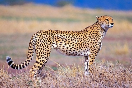 Did You Know That Cheetahs Meow Just Like Ordinary Housecats?