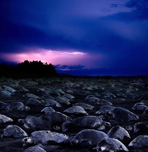 The Amazing Natural Phenomenon of Turtles Laying Millions of Eggs on a Beach