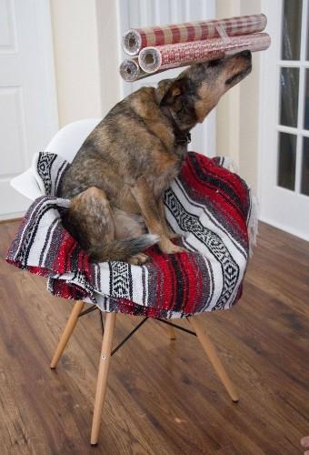 Adorable Dog's Festive Balancing Act for 12 Days