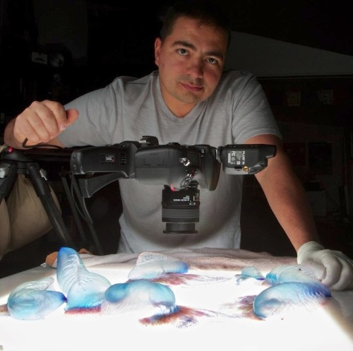The Fine Art of Photographing Living Portuguese Man O' War
