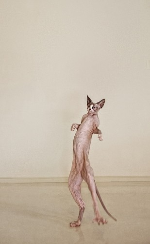 Fascinating Fine Art Photos of the Hairless Cat