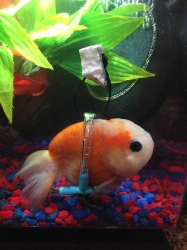 Man Custom-Builds Tiny Wheelchair for Goldfish with Swim Bladder Disorder