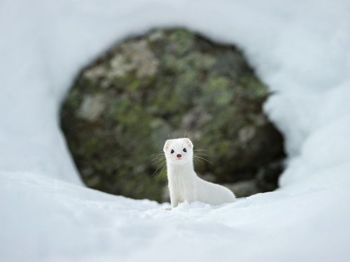 15 Photos That Will Make You Fall in Love with the Adorable Ermine