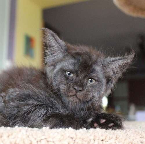 Adorable Litter of Maine Coon Kittens Look Like a Tiny Gang of Grumpy Old Men