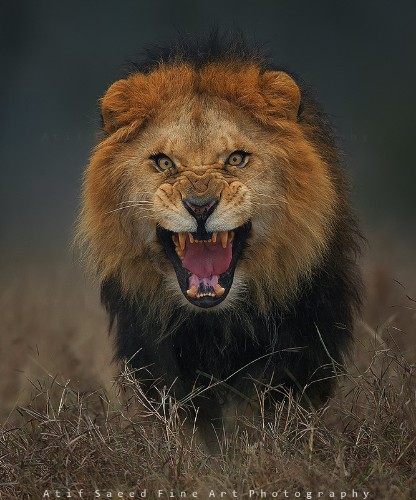 Terrifying Photo of an Angry Lion Just Moments Before it Charged