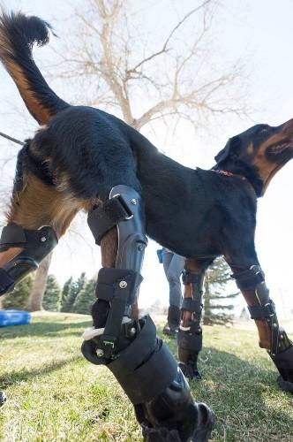 Quadruple Amputee Dog Enjoys a Happier, Healthier Life Thanks to Prosthetic Paws