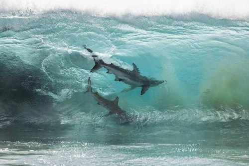 Amazing Shot of Two Sharks Caught Inside a Glassy Wave