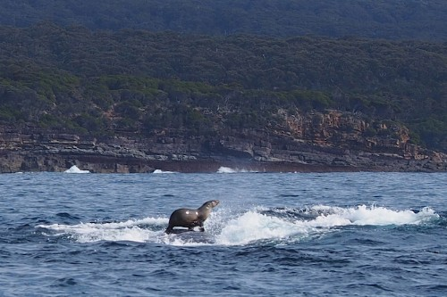 Photographer Accidentally Captures Candid Shot of a Seal Surfing on a Humpback Whale
