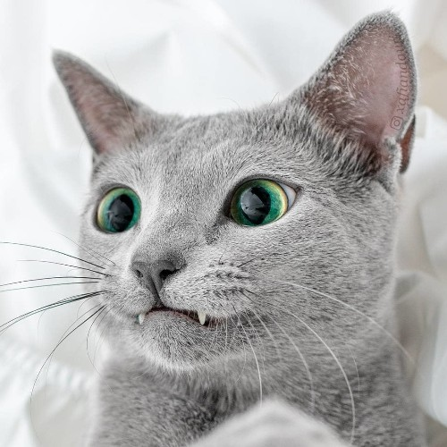 Beautiful Silver Cat Sisters Share the Most Mesmerizing Green Eyes