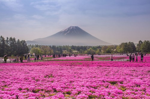 Vibrant Field of Magenta Flowers at the Foot of Mt. Fuji Marks Springtime in Japan