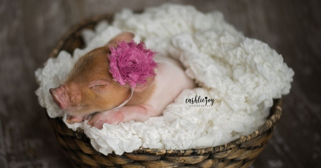 Adorable Piglet Has Her Own Newborn Photoshoot Just Like a Baby Human