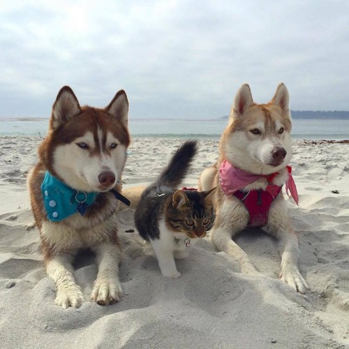 Three Huskies Are Inseparable Best Friends with a Dying Kitten They Nurtured Back to Health