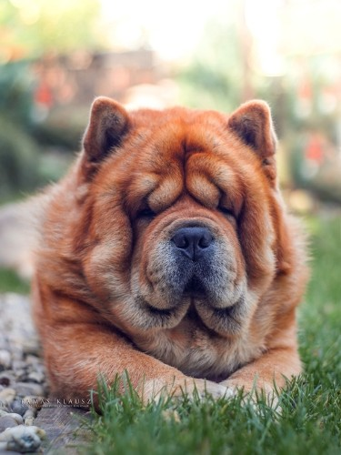 Fall in Love with Brumi, an Adorable Four-Year-Old Chow Chow