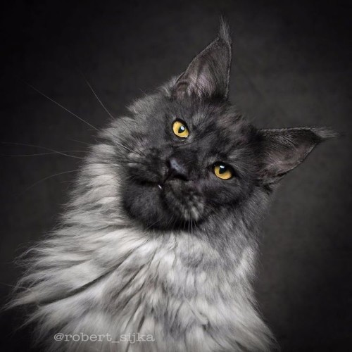 30 Photos of Maine Coon Cats Who Look Like Majestic Gentle Giants