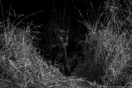 African Black Panther Captured on Film, Confirming Existence of the Elusive Cat
