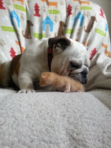 Heartmelting Photos of a Protective Bulldog with His Foster Kittens