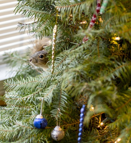 Family Rescues Squirrel and Lets It Live in Their Christmas Tree