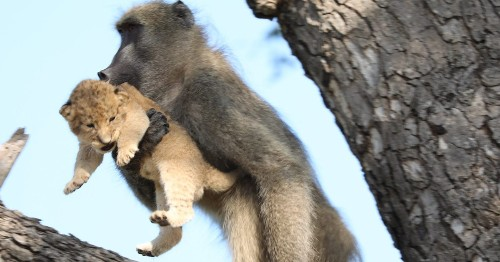 Baboon Seen Carrying a Lion Cub Looks Like 'The Lion King' in Real Life