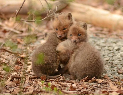 Father and Daughter Find Adorable Baby Foxes in Their Backyard