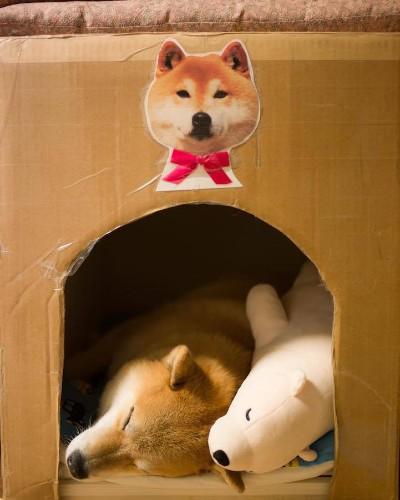 Lovable Shiba Inu Always Falls Asleep in Same Position as His Look-Alike Stuffed Animal