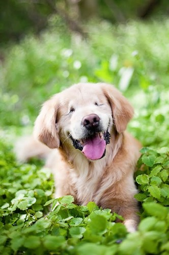 Smiley Golden Retriever With No Eyes Brings Comfort to Mentally Ill and Disabled
