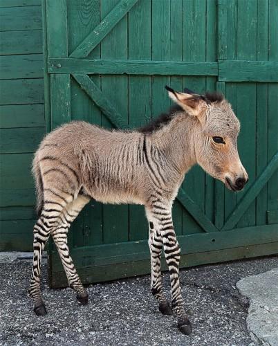 Adorable Italian Zonkey is Half Zebra, Half Donkey