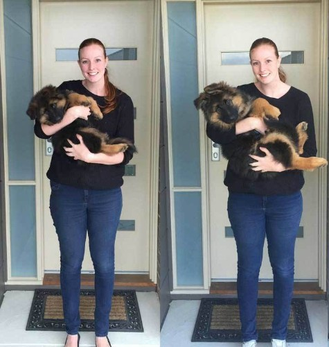 Couple Documents Rapid 8-Month Growth of Their Adorable German Shepherd Puppy