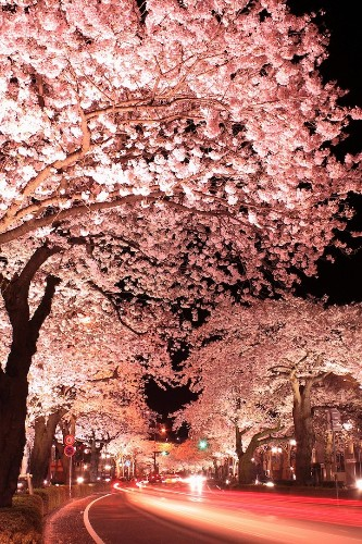 Long Exposure Photos of Japanese Cherry Blossoms at Night