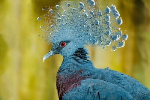 'Victoria Crown Pigeon' Is the World's Largest and Most Beautiful Pigeon