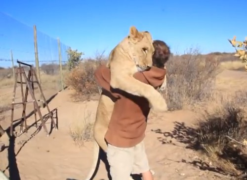 Heartwarming Video of a Lioness Excitedly Hugging the Man Who Rescued Her