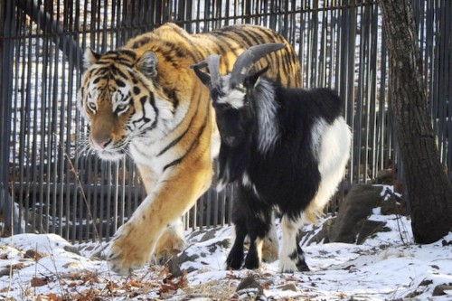 Tiger and Goat Still Friends Months After Goat Given to Tiger As Food