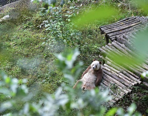World's Only Brown Panda Lives Happily in Chinese Nature Reserve