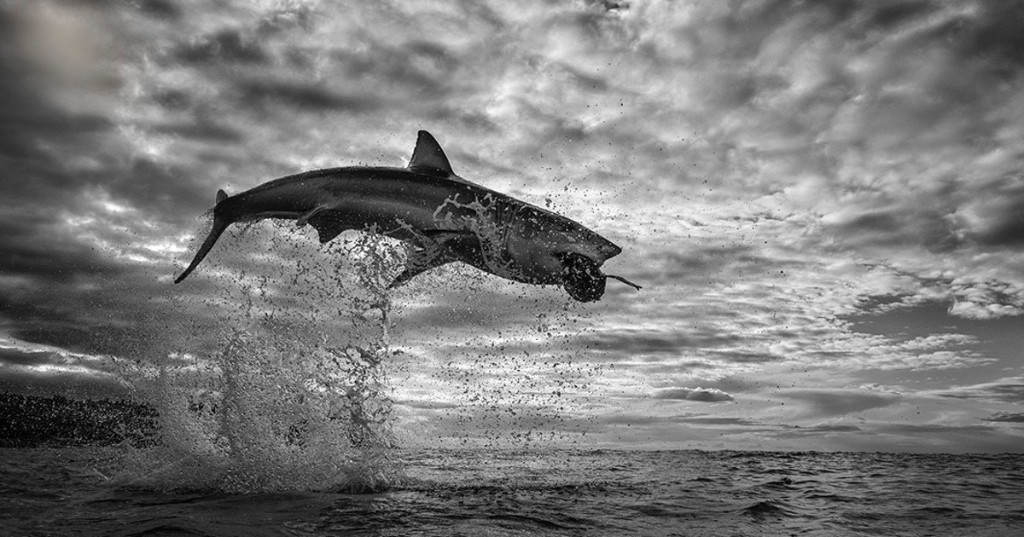 Brave Photographer Captures Great White Shark Leaping 12 Feet Above the Ocean