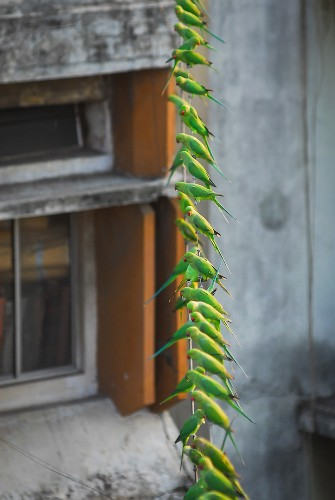 """India's """"Birdman"""" Cares for 4,000 Exotic Green Parakeets"""