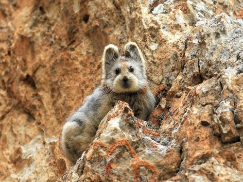 """Adorable Teddy Bear-like """"Magic Rabbit"""" Spotted for the First Time in Two Decades"""
