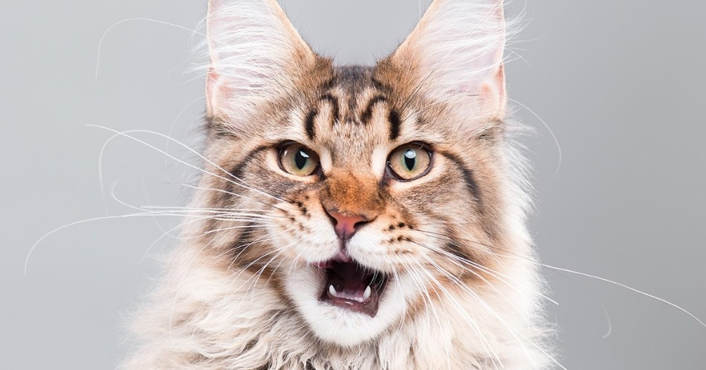 9 Fluffy, Silly, and Majestic Maine Coon Cats to Follow on Instagram