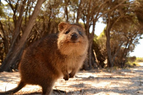World Falls in Love with Quokka, Australia's Most Adorable Animal