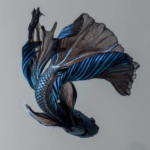Siamese Fighting Fish Portraits Look Like Colorful Clouds of Ink in Water
